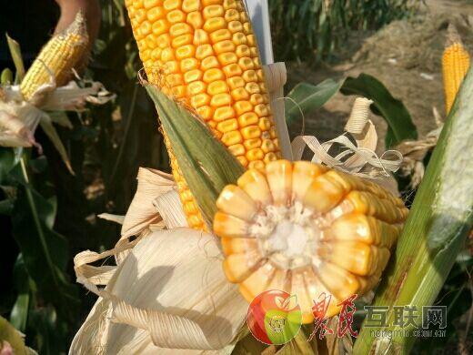 胖姐夏玉米高产种植观摩会