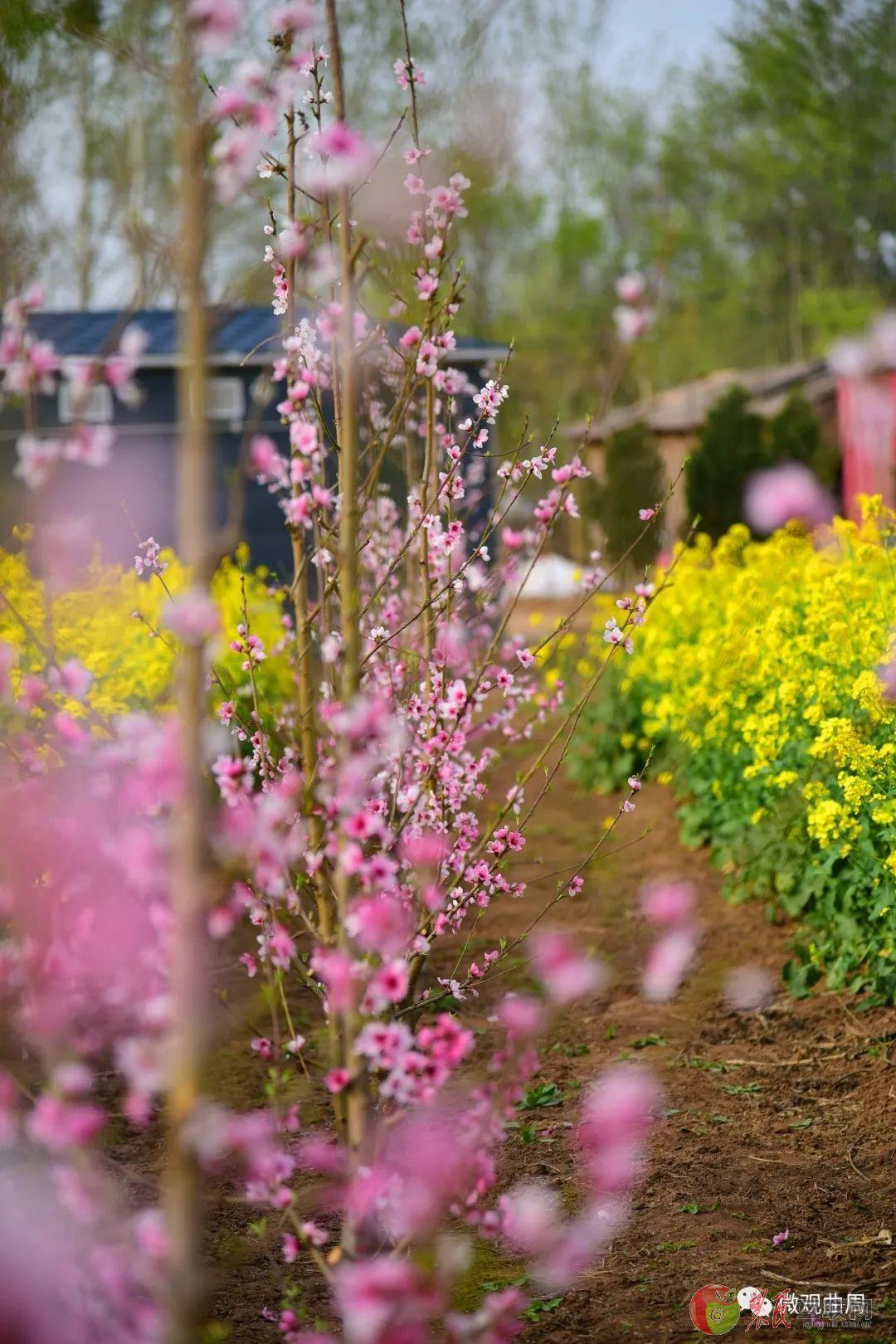 河北曲周:满园尽开黄金花 植物迷