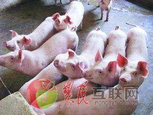 """""""仔猪卖到成猪价"""",给养猪业传递"""