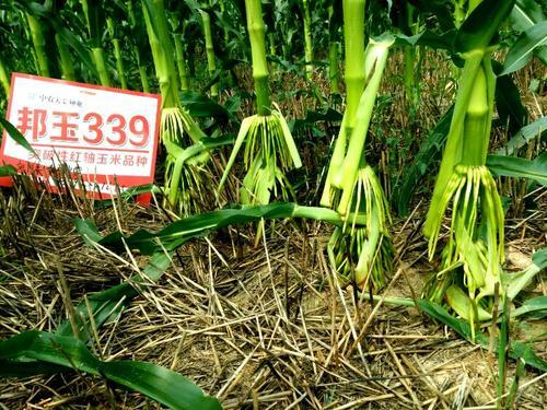 玉米小喇叭口期控旺壮棵增产效果