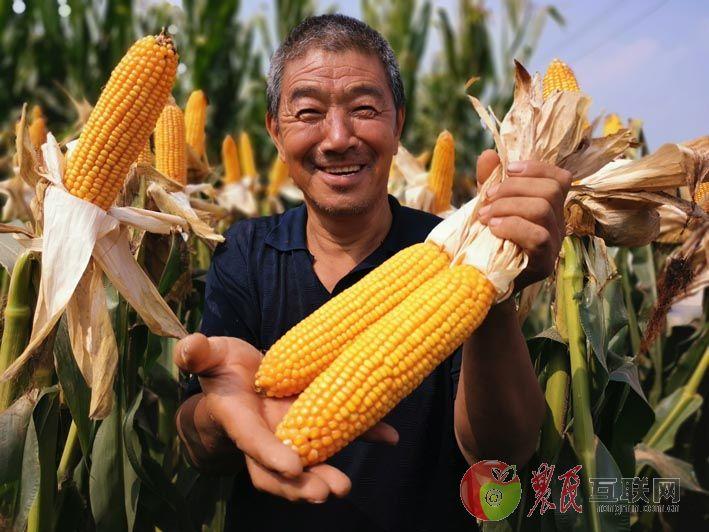 拥民玉米丰收季 曲周田间搞观摩