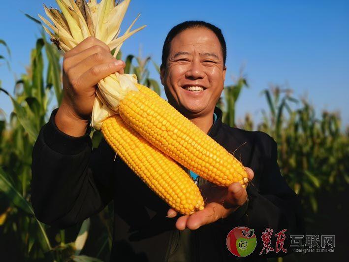 拥民玉米丰收季 献县粮农来报喜