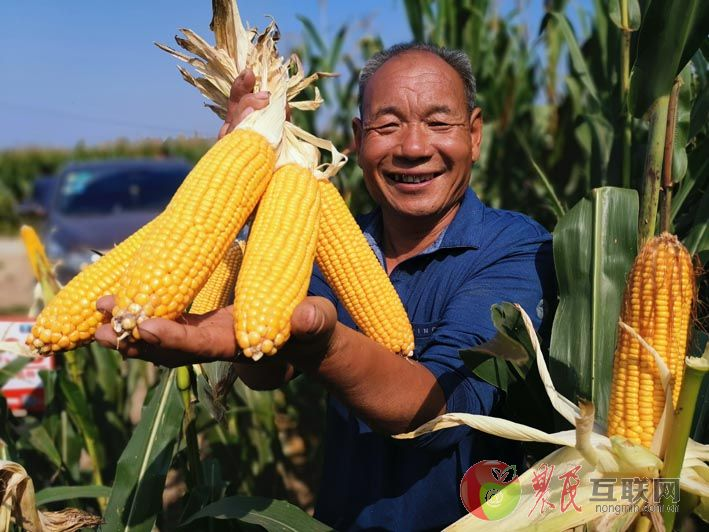 拥民玉米丰收季 献县观摩会传喜