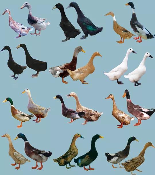 肉鸭种业的昨天、今天和明天